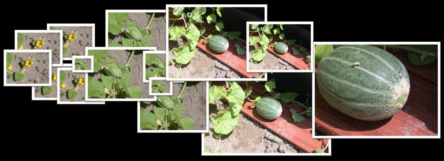 Impianto for Pianta di melone